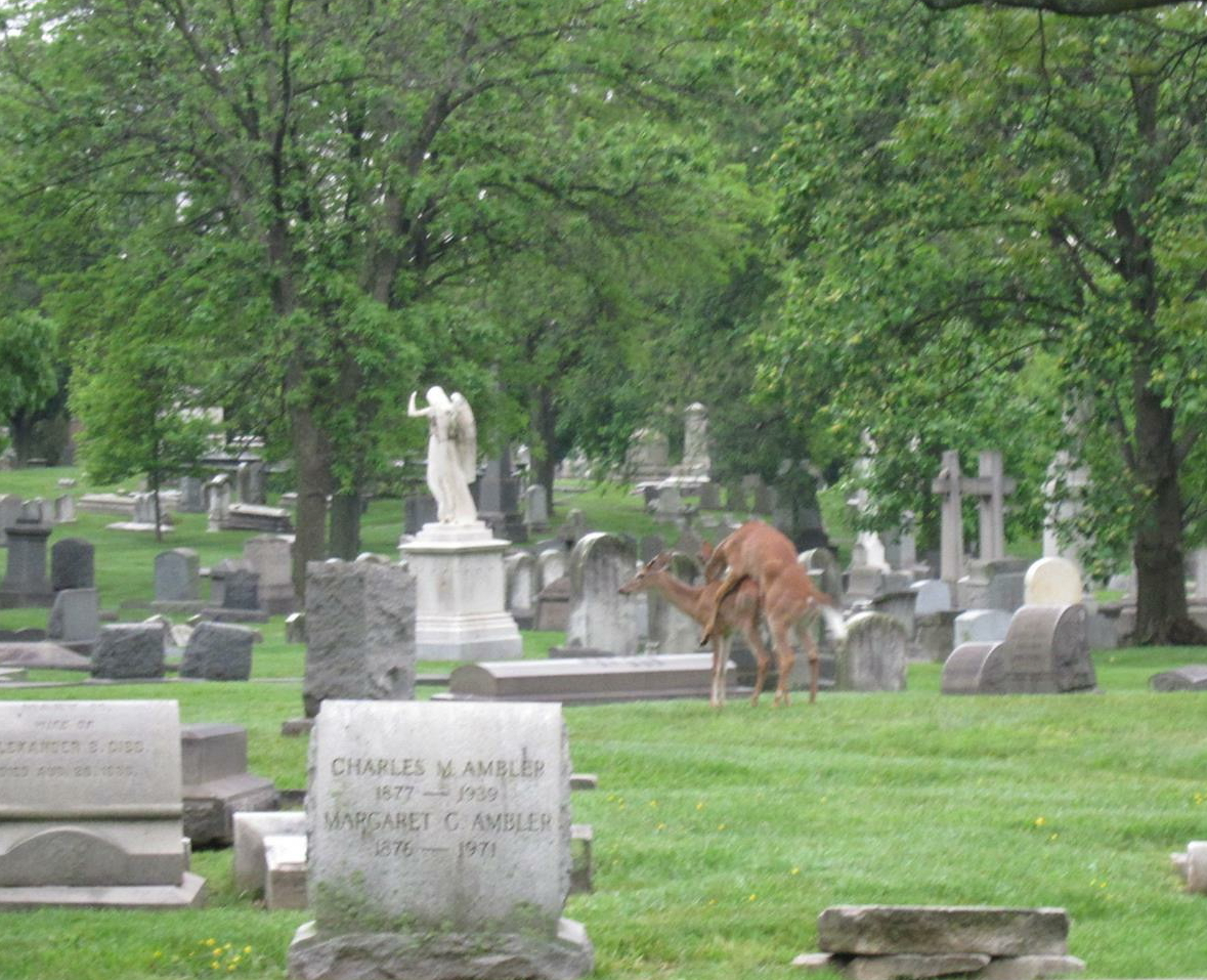 Deer mating at the historic Woodlands Cemetery in Philadelphia