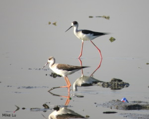 Black Winged Stilts at Las Piñas-Parañaque Critical Habitat and Ecotourism Area, Mike Lu