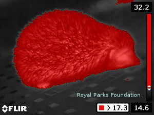 Hedgehog seen through thermal imaging (Royal Parks Foundation).