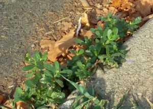 Curb-crack purslane